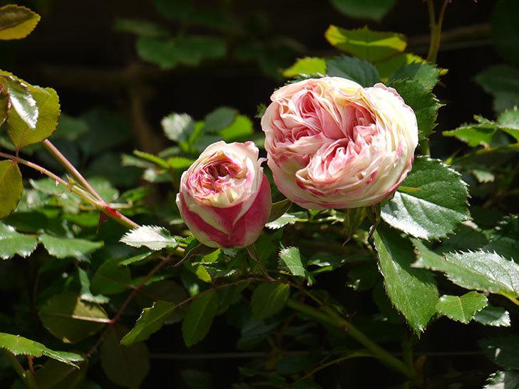 ピエール・ドゥ・ロンサール(ツルバラ)が少し咲いた。2018年-11.jpg