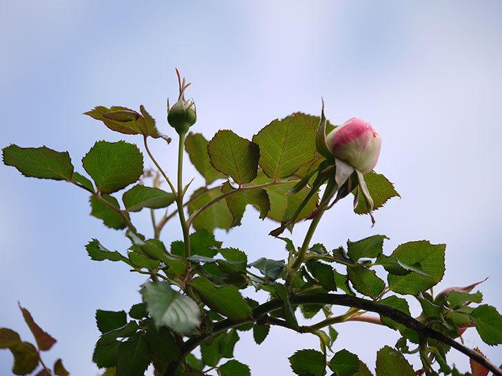 ピエール・ドゥ・ロンサール(ツルバラ)が少し咲いた。2018年-13.jpg