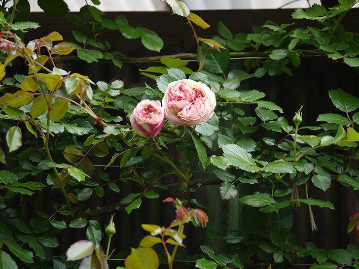 ピエール・ドゥ・ロンサール(ツルバラ)が少し咲いた。2018年-2.jpg