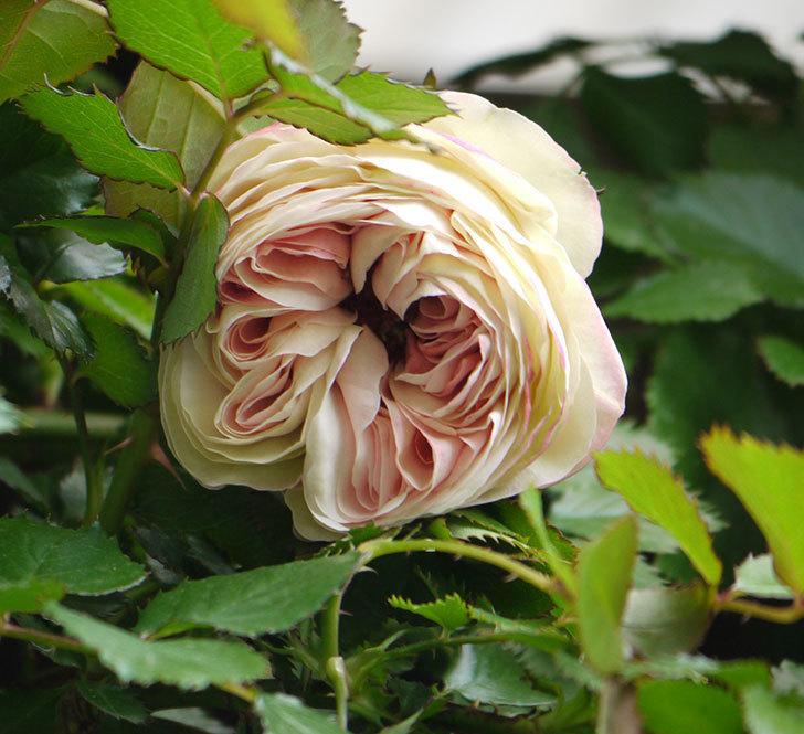 ピエール・ドゥ・ロンサール(ツルバラ)が少し咲いた。2018年-5.jpg