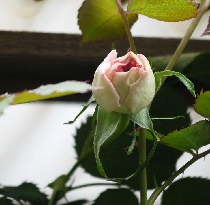 ピエール・ドゥ・ロンサール(ツルバラ)が少し咲いた。2018年-6.jpg