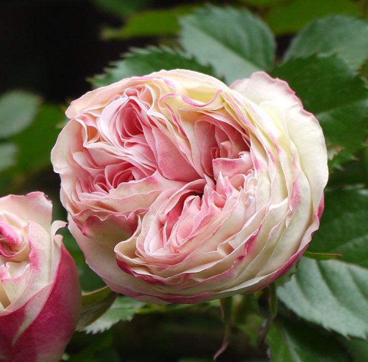 ピエール・ドゥ・ロンサール(ツルバラ)が少し咲いた。2018年-8.jpg