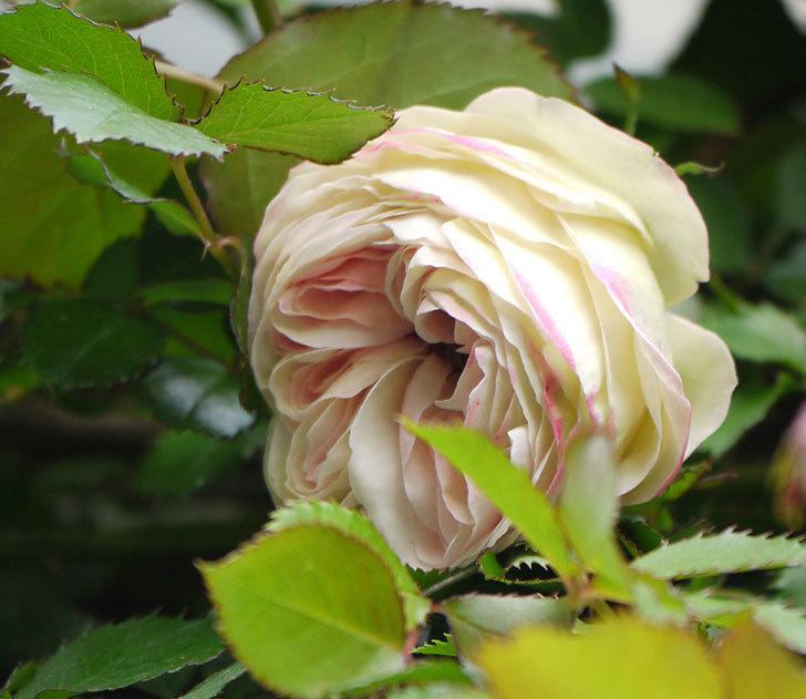 ピエール・ドゥ・ロンサール(ツルバラ)が少し咲いた。2018年-9.jpg