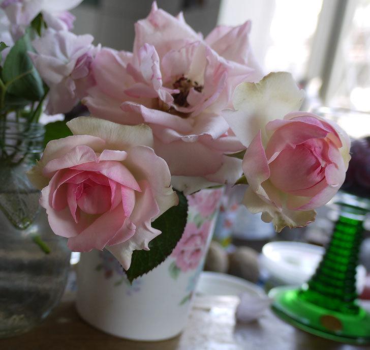 ピエール・ドゥ・ロンサール(ツルバラ)に2番花が咲いた。2017年-1.jpg