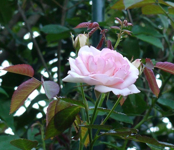 ピエール・ドゥ・ロンサール(ツルバラ)に2番花が咲いた。2017年-2.jpg