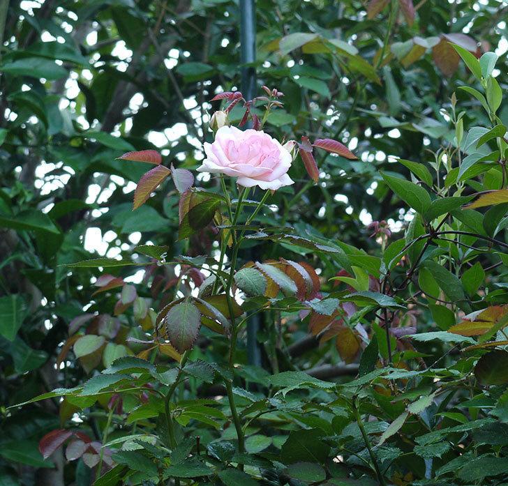 ピエール・ドゥ・ロンサール(ツルバラ)に2番花が咲いた。2017年-3.jpg