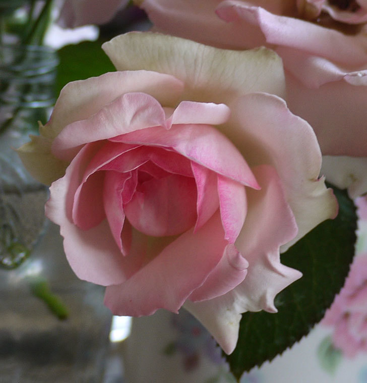 ピエール・ドゥ・ロンサール(ツルバラ)に2番花が咲いた。2017年-4.jpg