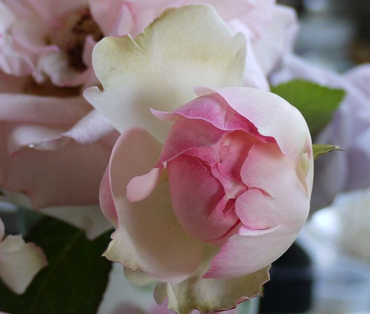 ピエール・ドゥ・ロンサール(ツルバラ)に2番花が咲いた。2017年-5.jpg