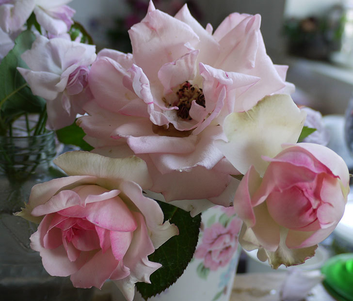 ピエール・ドゥ・ロンサール(ツルバラ)に2番花が咲いた。2017年-6.jpg