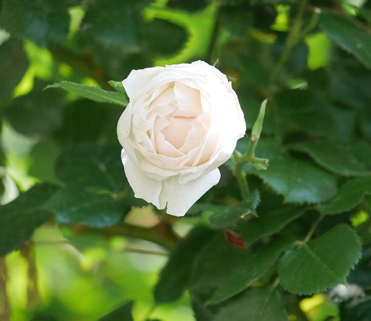 ピエール・ドゥ・ロンサール(ツルバラ)に白っぽい花が咲いた。2019年-1.jpg