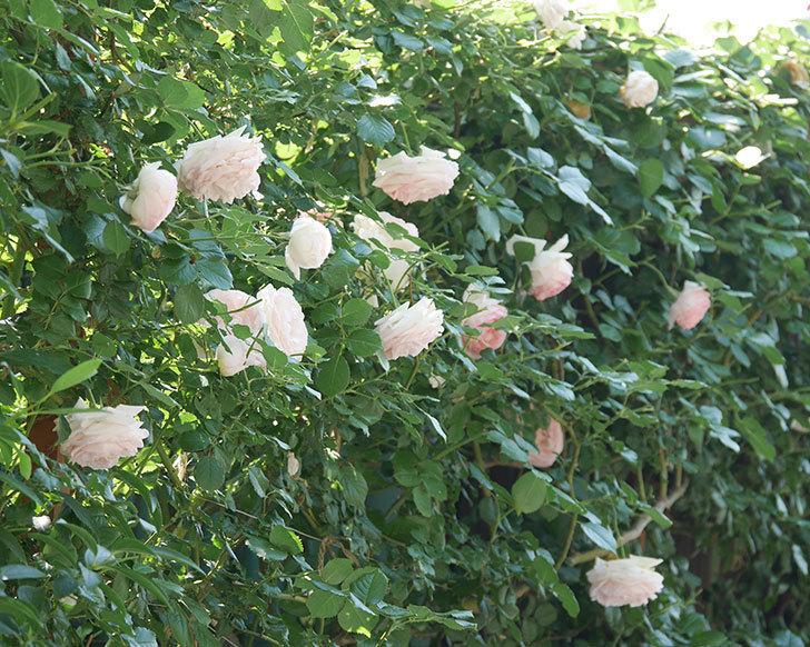 ピエール・ドゥ・ロンサール(ツルバラ)に白っぽい花が咲いた。2019年-2.jpg