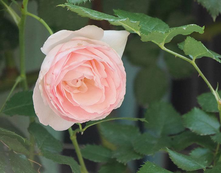 ピエール・ドゥ・ロンサール(ツルバラ)に白っぽい花が咲いた。2019年-4.jpg