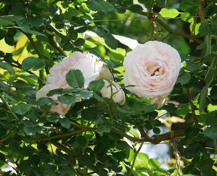 ピエール・ドゥ・ロンサール(ツルバラ)に白っぽい花が咲いた。2019年-5.jpg