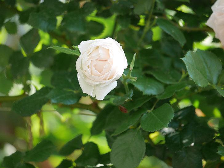ピエール・ドゥ・ロンサール(ツルバラ)に白っぽい花が咲いた。2019年-6.jpg
