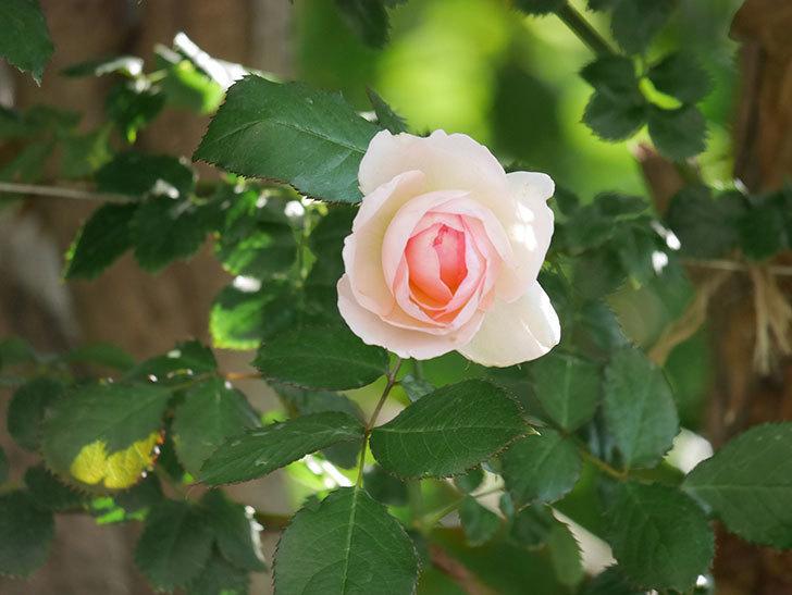 ピエール・ドゥ・ロンサール(ツルバラ)に白っぽい花が咲いた。2019年-7.jpg
