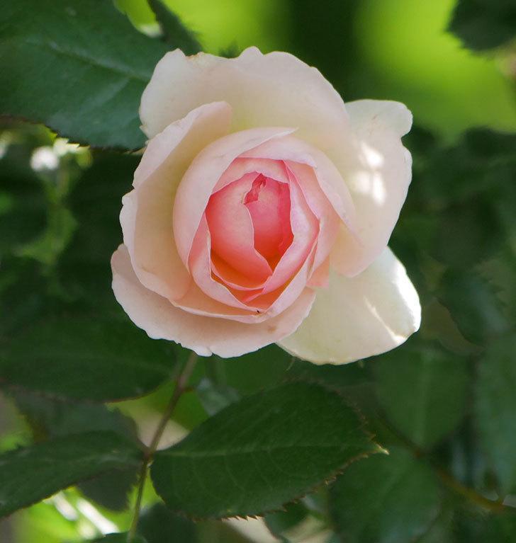 ピエール・ドゥ・ロンサール(ツルバラ)に白っぽい花が咲いた。2019年-8.jpg