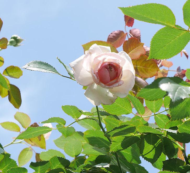 ピエール・ドゥ・ロンサール(ツルバラ)の2番花が咲いた。2018年-1.jpg