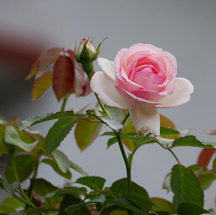 ピエール・ドゥ・ロンサール(ツルバラ)の2番花が咲いた。2019年-1.jpg