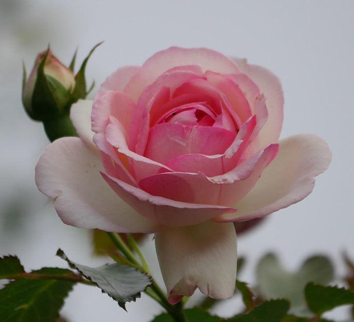 ピエール・ドゥ・ロンサール(ツルバラ)の2番花が咲いた。2019年-2.jpg