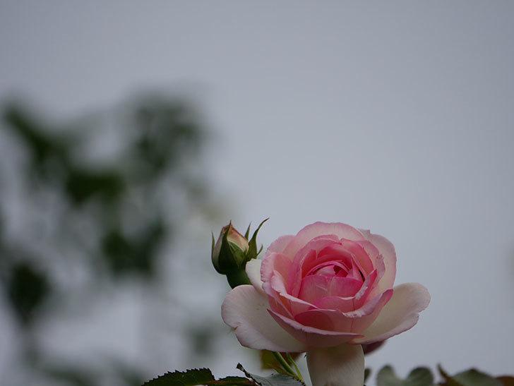 ピエール・ドゥ・ロンサール(ツルバラ)の2番花が咲いた。2019年-3.jpg
