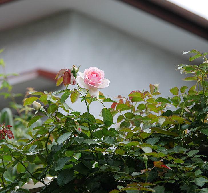 ピエール・ドゥ・ロンサール(ツルバラ)の2番花が咲いた。2019年-4.jpg
