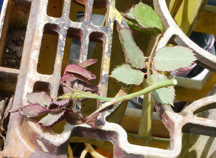 ピエール・ドゥ・ロンサール(ツルバラ)の新枝が1本バラクキバチにやられた。2019年-3.jpg