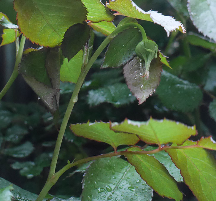 ピエール・ドゥ・ロンサール(ツルバラ)の新枝が1本バラクキバチにやられた。2020年-1.jpg