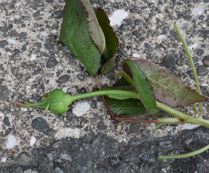 ピエール・ドゥ・ロンサール(ツルバラ)の新枝が1本バラクキバチにやられた。2020年-2.jpg