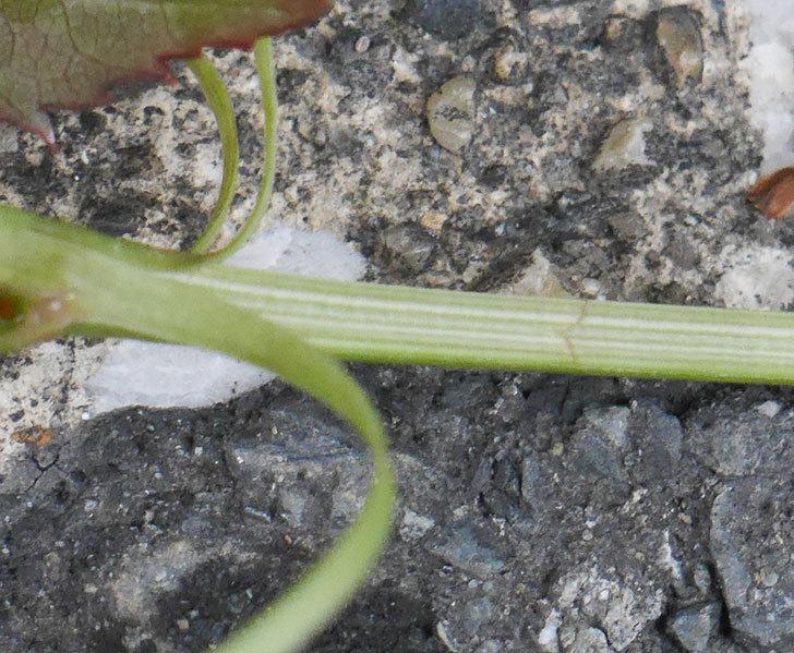 ピエール・ドゥ・ロンサール(ツルバラ)の新枝が1本バラクキバチにやられた。2020年-3.jpg