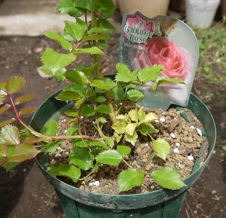 ピエール・ドゥ・ロンサール(ツルバラ)の新苗を6号ロングスリット鉢に植えた。2016年-1.jpg
