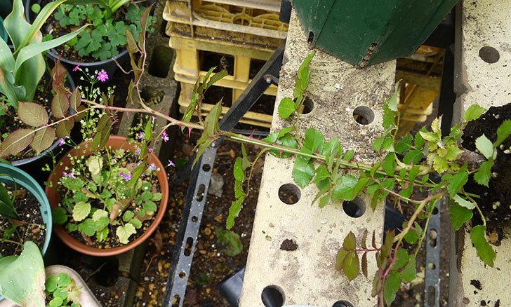 ピエール・ドゥ・ロンサール(ツルバラ)の新苗を6号ロングスリット鉢に植えた。2016年-2.jpg