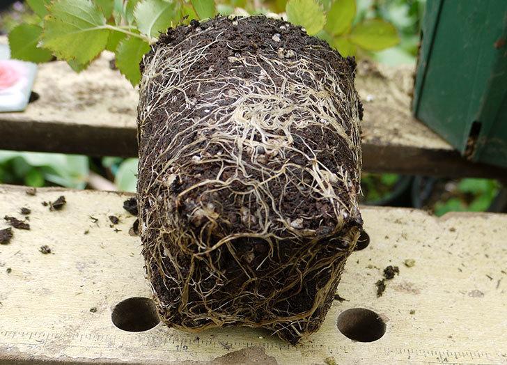 ピエール・ドゥ・ロンサール(ツルバラ)の新苗を6号ロングスリット鉢に植えた。2016年-4.jpg