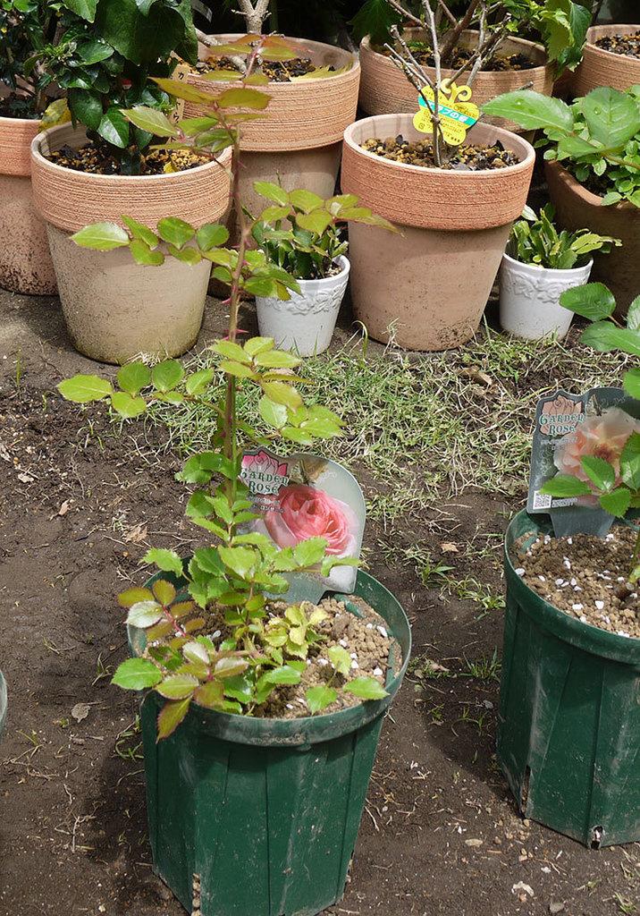 ピエール・ドゥ・ロンサール(ツルバラ)の新苗を6号ロングスリット鉢に植えた。2016年-5.jpg