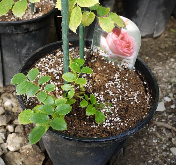 ピエール・ドゥ・ロンサール(ツルバラ)の新苗を鉢増しした。2016年-1.jpg