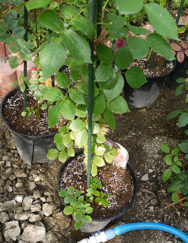 ピエール・ドゥ・ロンサール(ツルバラ)の新苗を鉢増しした。2016年-10.jpg