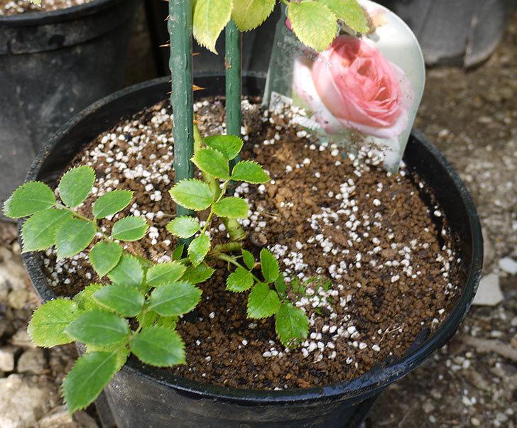 ピエール・ドゥ・ロンサール(ツルバラ)の新苗を鉢増しした。2016年-7.jpg