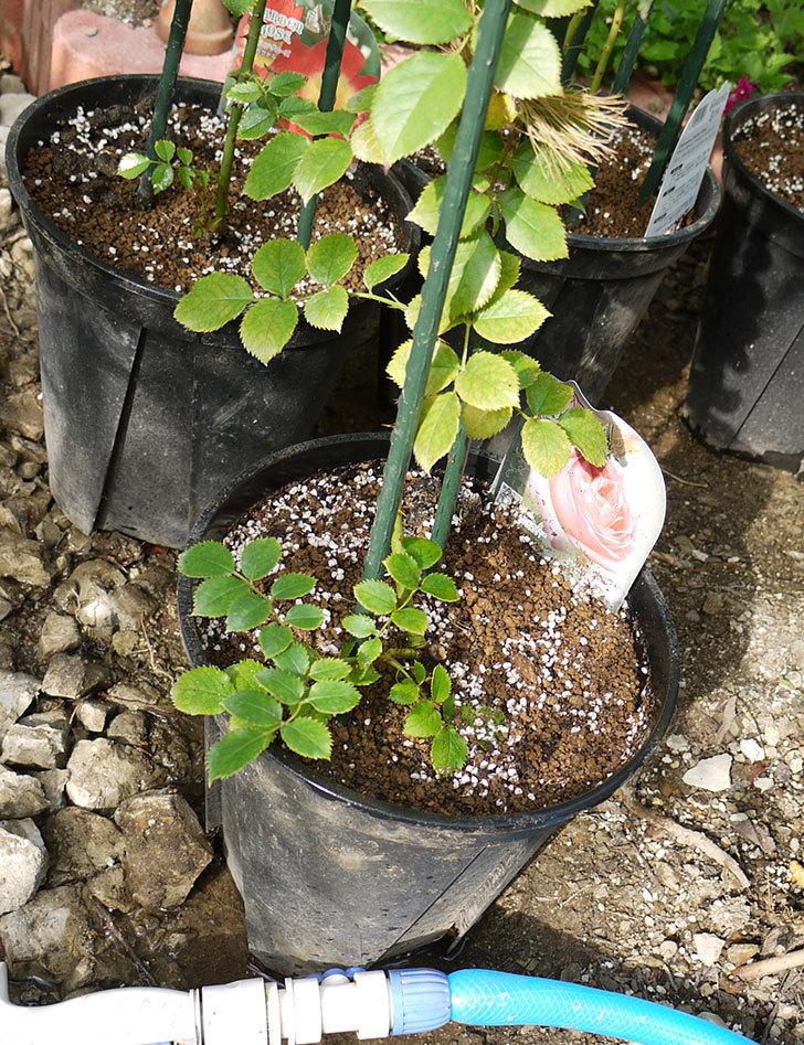 ピエール・ドゥ・ロンサール(ツルバラ)の新苗を鉢増しした。2016年-8.jpg