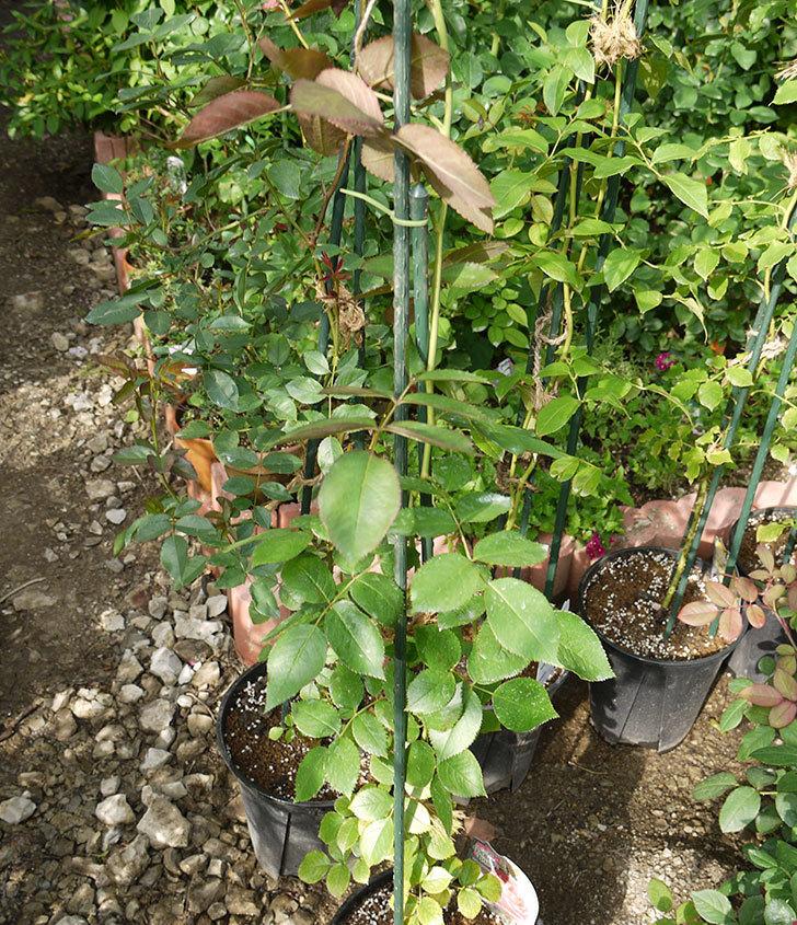 ピエール・ドゥ・ロンサール(ツルバラ)の新苗を鉢増しした。2016年-9.jpg