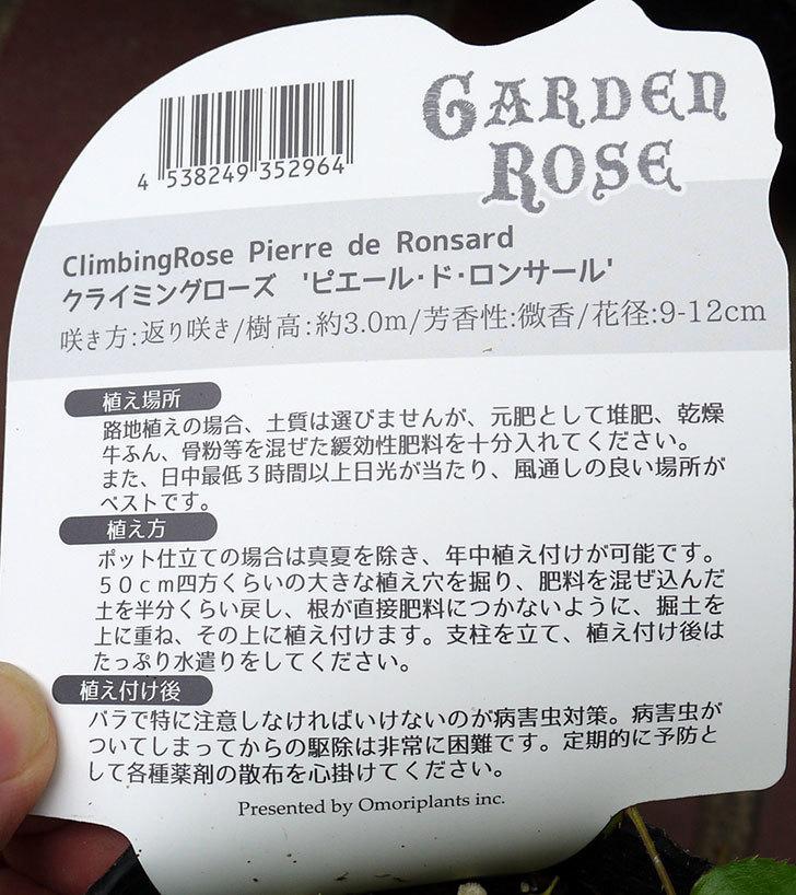 ピエール・ドゥ・ロンサール(ツルバラ)の新苗買って来た。2016年-5.jpg