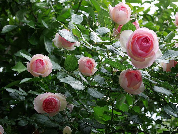 ピエール・ドゥ・ロンサール(ツルバラ)の花がたくさん咲いた。2018年-1.jpg