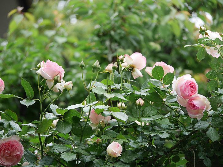 ピエール・ドゥ・ロンサール(ツルバラ)の花がたくさん咲いた。2018年-10.jpg