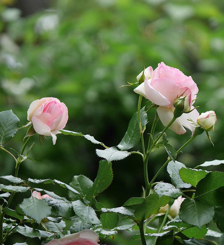 ピエール・ドゥ・ロンサール(ツルバラ)の花がたくさん咲いた。2018年-14.jpg