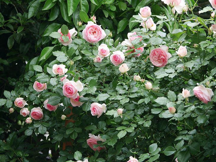 ピエール・ドゥ・ロンサール(ツルバラ)の花がたくさん咲いた。2018年-16.jpg