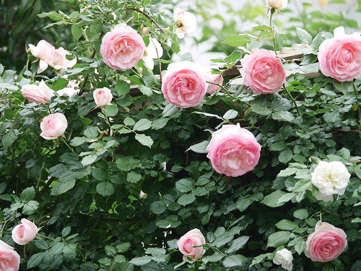 ピエール・ドゥ・ロンサール(ツルバラ)の花がたくさん咲いた。2018年-17.jpg