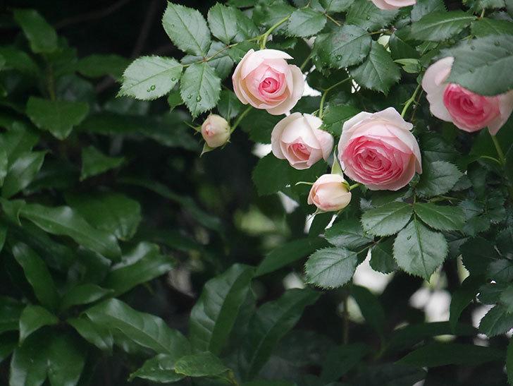 ピエール・ドゥ・ロンサール(ツルバラ)の花がたくさん咲いた。2018年-19.jpg