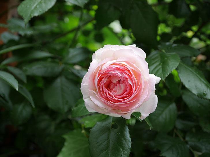 ピエール・ドゥ・ロンサール(ツルバラ)の花がたくさん咲いた。2018年-2.jpg