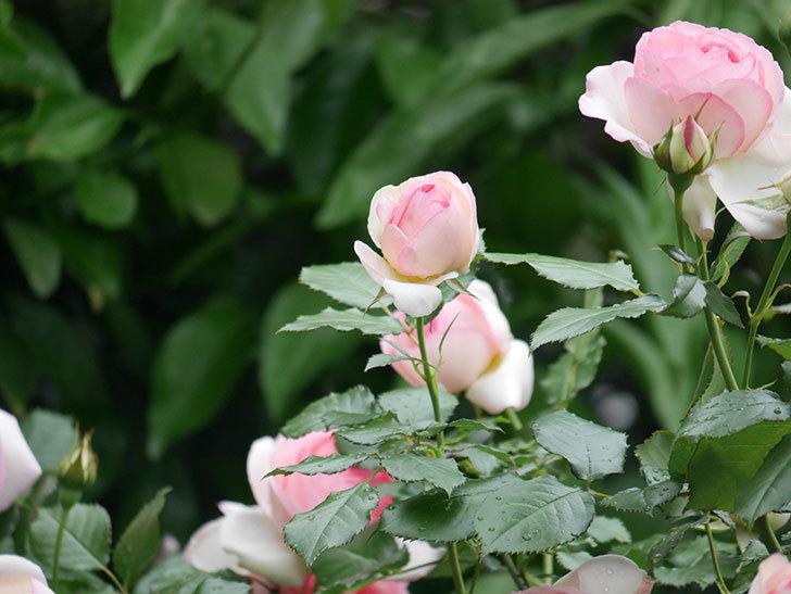 ピエール・ドゥ・ロンサール(ツルバラ)の花がたくさん咲いた。2018年-20.jpg