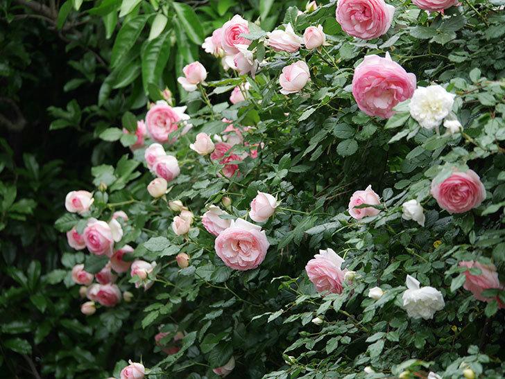 ピエール・ドゥ・ロンサール(ツルバラ)の花がたくさん咲いた。2018年-22.jpg