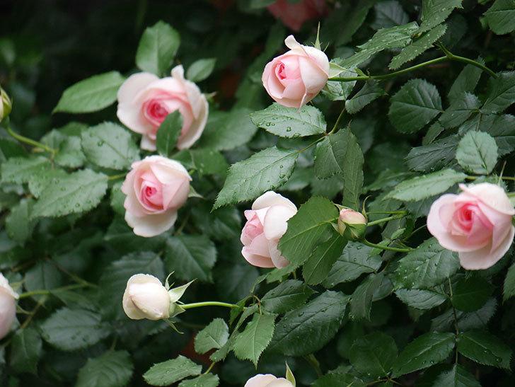 ピエール・ドゥ・ロンサール(ツルバラ)の花がたくさん咲いた。2018年-23.jpg