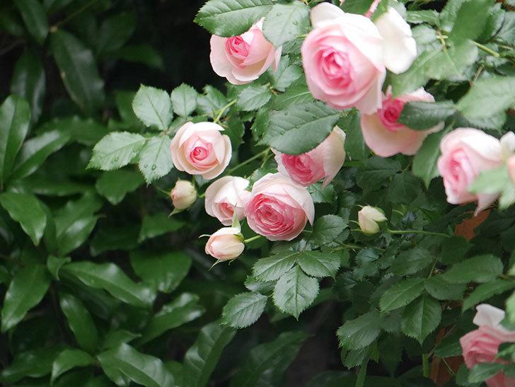 ピエール・ドゥ・ロンサール(ツルバラ)の花がたくさん咲いた。2018年-24.jpg